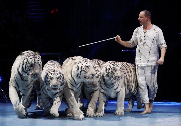 Le tigre blanc, bien plus imprévisible que le lion