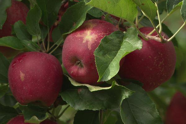 Conséquence du gel du printemps, nombre de pommes des vergers de Maine-et-Loire présentent des défauts d'aspect qui vont les rendre impropres à la vente au détail