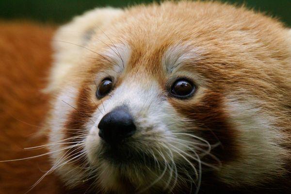 """Bao est une des stars du """"red panda day"""""""