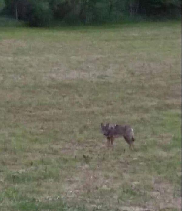 Le loup aurait été aperçu sur la commune de Lompnas (Ain), entre la fin mai et début juin, juste avant et juste après l'attaque d'une dizaine de brebis.