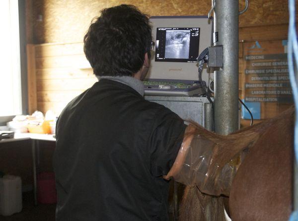 Une échographie permet un examen gynécologique si on désire (même à terme) faire saillie la jument.