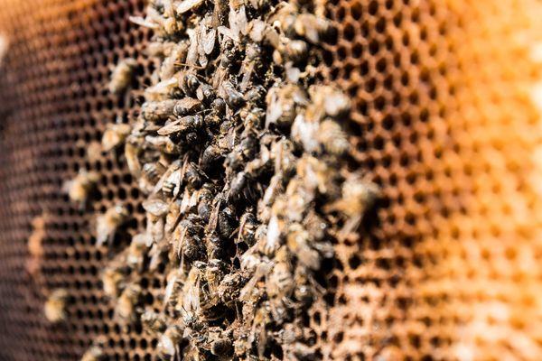 """Dans le cadre de la mobilisation nationale """"Mortalité des abeilles"""", les apiculteurs se sont rassemblés sur l'esplanade des Invalides à Paris, brandissant des cadres de ruches avec des abeilles bien mal en point."""