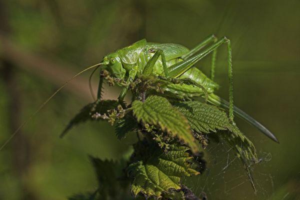 La grande sauterelle verte, que l'on ne trouvait que dans le Sud de l'Europe, est désormais présente en Bretagne.