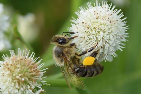 Les apiculteurs de l'AOP miel de Corse produisent chaque année 350 tonnes de miel réparties en six gammes.