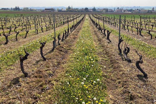 Dans l'Allier, les vignes ont souffert des gelées survenues au début du mois d'avril.