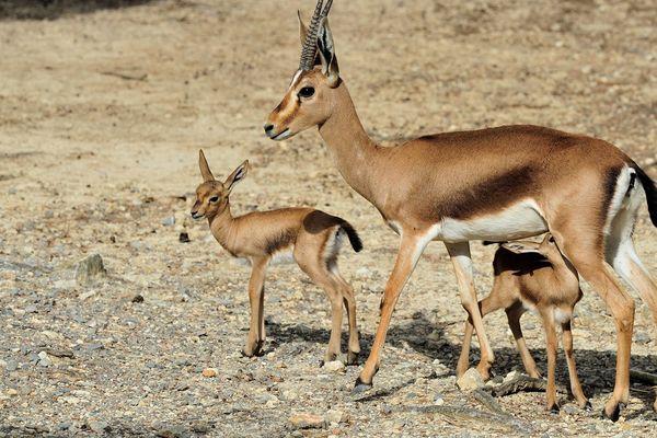 Une gazelle de Cuvier et ses deux jumeaux à la Réserve africaine de Sigean - mai 2017