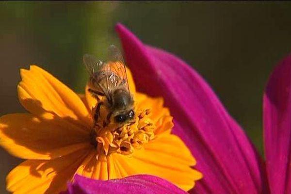 Certaines abeilles butinent encore en plein mois de novembre.