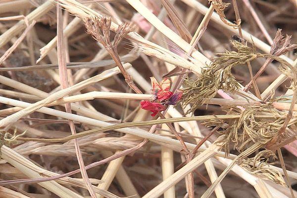 Cette petite fleur rouge toxique, de la taille d'un bouton d'or, se cache souvent sous les coquelicots. L'Adonis, qui avait disparu depuis les années 30, est aujourd'hui signalée de Marseille à Perpignan en passant par la Drôme.