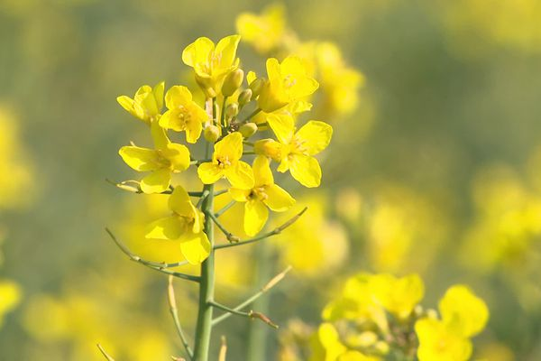 Dans l'Yonne, les agriculteurs expérimentent des méthodes plus vertes pour la culture du colza