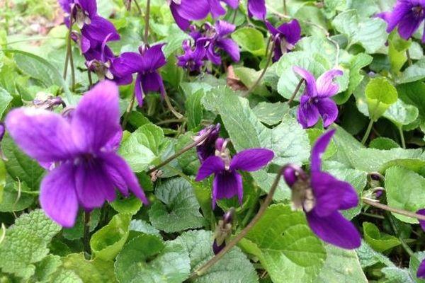 Des violettes plein le jardin - Toulouse