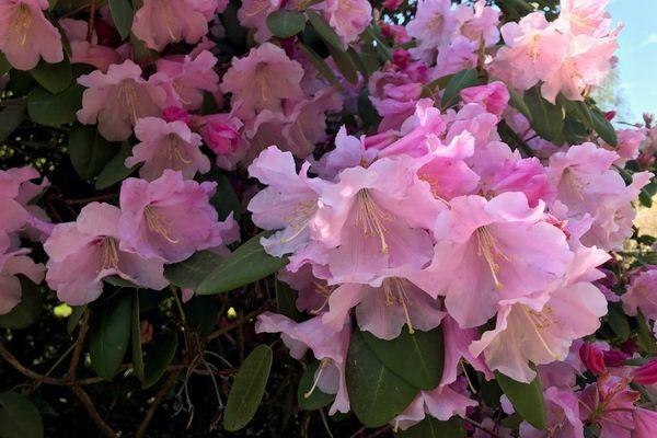 Les rhododendrons Arthur J.Evens en fleur au domaine de Trévarez