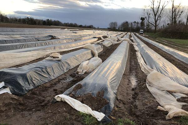 A Bilwisheim, seuls 4 à 5 hectares d'asperges seront recueillis, au lieu de 35.