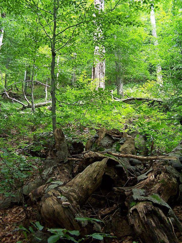 Les forêts naturelles de hêtres des Carpates, comme celle-ci en Slovaquie, font partie des écosystèmes dont pourrait s'inspirer la forêt vosgienne du futur.