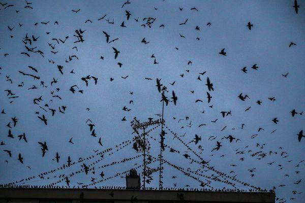 Des milliers d'étourneaux envahissent chaque année le centre-ville de Lisieux.