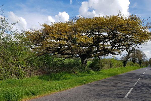 Ce chêne pédonculé, à la silhouette inhabituelle pour son espèce, a été protégé par l'Etat dès 1926.