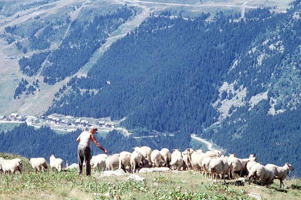 Berger et moutons dans les hautes-alpes