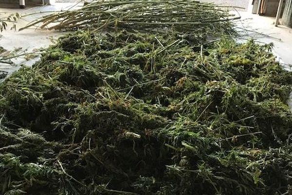 Les pieds de cannabis saisis par la gendarmerie d'Uzerche à Saint-Ybard.