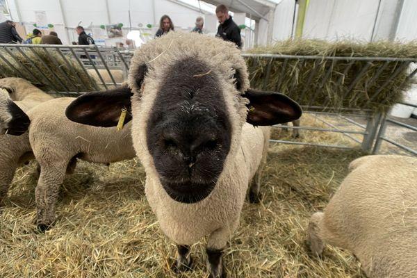 Les vaches ne sont pas les seules stars du Sommet de l'Elevage : les moutons leur volent parfois la vedette.