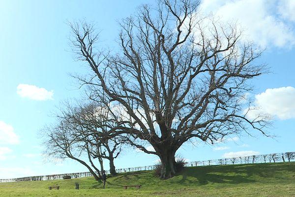 Tilleul situé à Saint-Léger-lès-Domart dans la Somme recensé parmi les arbres remarquables