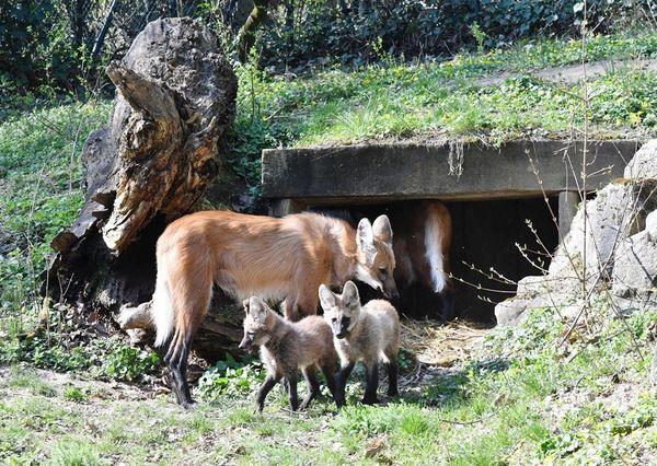 La famille de loups à crinière profite du soleil en toute quiétude.