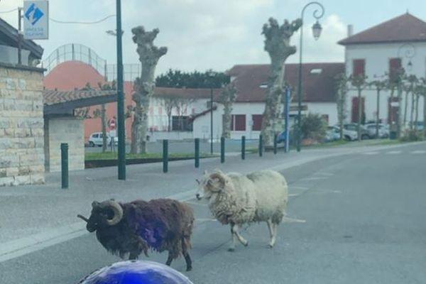 Des béliers profitant du confinement pour errer dans le village de Bidache au pays basque