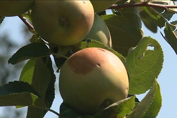Pommes grêlées à Mudaison (Hérault) le 4 juillet 2019