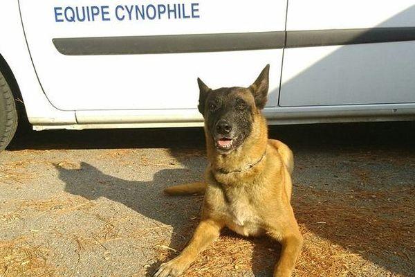 """Gibson, chien berger belge malinois de l'équipe """"piste-défense"""" du Groupe d'Investigation Cynophile (GIC) de la gendarmerie de Perpignan"""