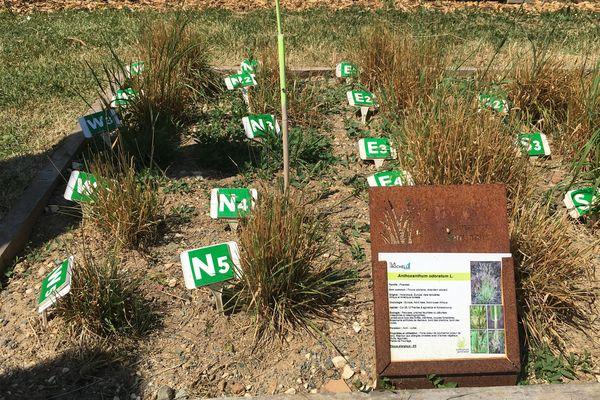 Ces plants de flouve odorante ont été récoltés dans un rayon de 25 kilomètres autour de La Rochelle.