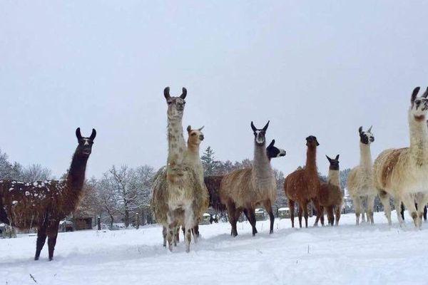 Photo du troupeau de lamas de David Sauvat, quelques jours avant l'attaque... du loup ?