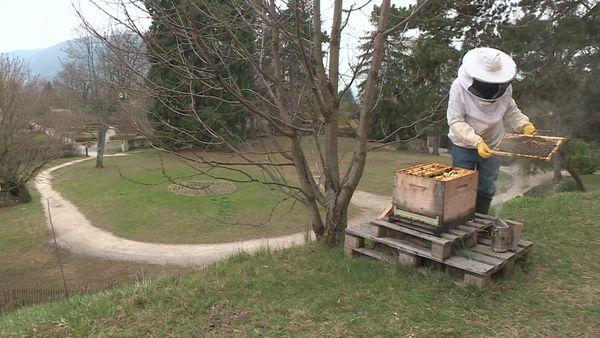"""Le mode opératoire du prédateur fait froid dans le dos : """"Le frelon asiatique décortique l'abeille, lui arrache la tête et dévore son abdomen"""" explique Didier Mouchet"""