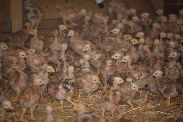 Un élevage de poulettes. Ici âgées de 3 semaines, elles sont destinées à des élevages produisant des œufs bio