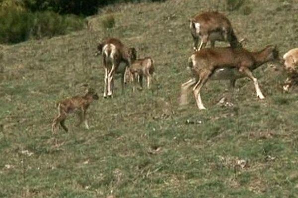 Massif du Carlit - des bébés mouflons - 16 avril 2013.