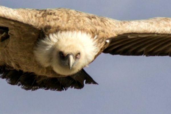 Dans l'imaginaire collectif, le vautour est un oiseau qui fait peur, parce qu'associé à la mort.