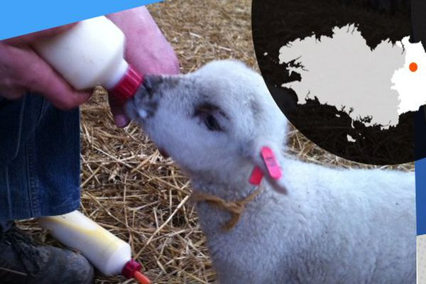 Pause biberon pour ce petit agneau