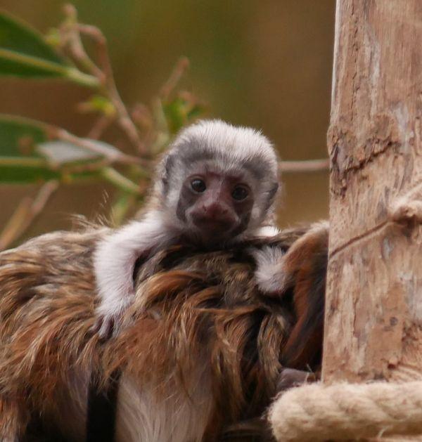Le Tamarin pinché est l'un des primates les plus gravement menacés de disparition au monde.