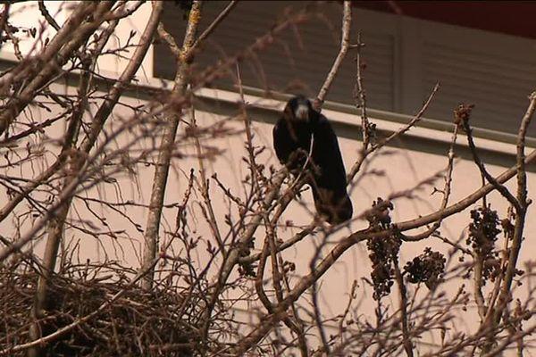 a Planoise, un corbeau observé par les enfants grâce à la LPO