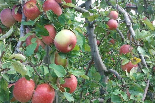 Puicherie (Aude) - la récolte des pommes en Minervois