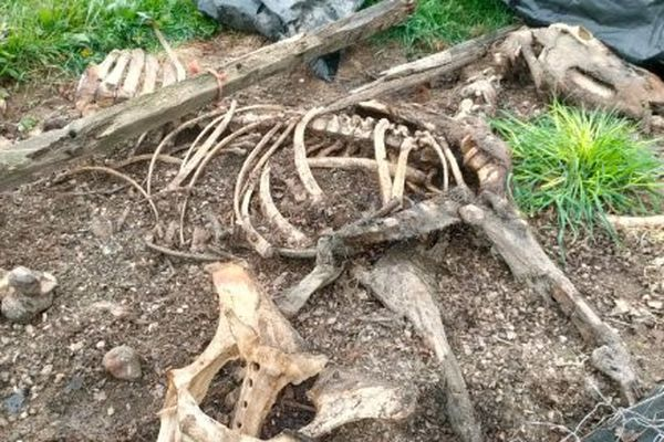 L'un des squelettes de chevaux retrouvés sur la propriété par l'association Urgence Maltraitance Animale.