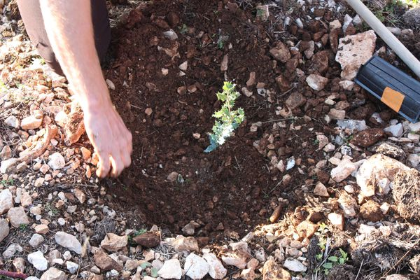 Un jeune plant de chêne truffier âgé d'un an en cours de plantation dans le sud Ardèche