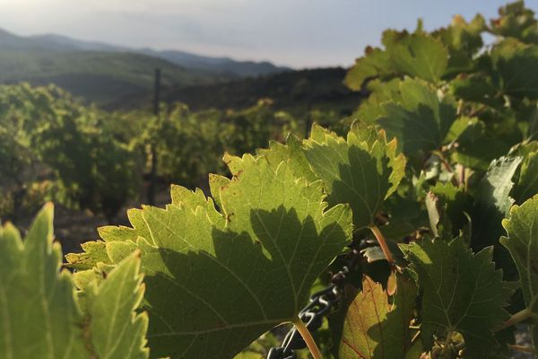 Des vignes dans le Languedoc, terre de vins par excellence -sept 2019 .