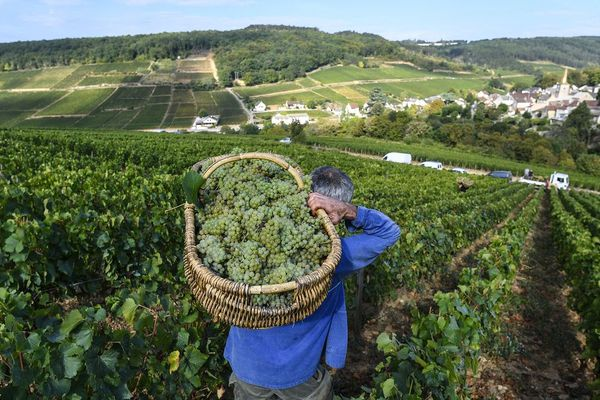Des vendanges à Pernand-Vergelesses, en Côte-d'Or, le 5 septembre 2018.
