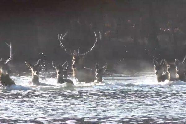 Une harde de cerfs et de biches traverse un étang de la forêt de Chaux (Jura)