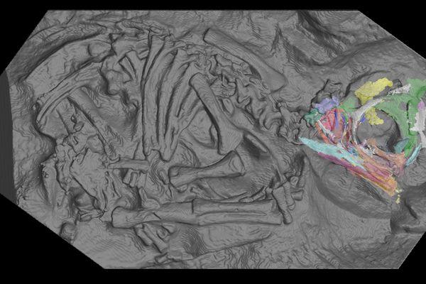 Vue d'intérieur de l'un des embryons de dinosaure Massospondylus carinatus grâce aux scans réalisés à l'ESRF, pour examiner les os du crâne.