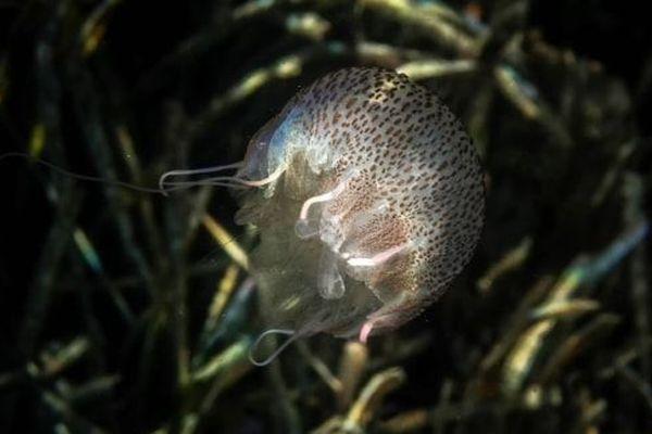 La surpêche élimine certains de leurs prédateurs directs, comme les thons ou les tortues par capture accidentelle,