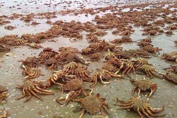 Des centaines d'araignées échouées sur la plage des Rosaires à Plérin (Côtes-d'Armor).