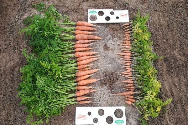 A gauche, une récolte effectuée après le nettoyage du sol par Terapur, à droite, les effets du nématode...