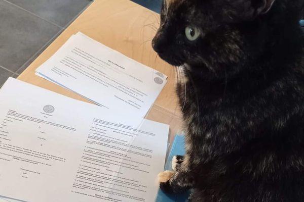 """Moonlight, la mascotte de l'association et """"l'inspectrice des travaux finis"""" : quand ils reçoivent des demandes d'adoption pour des chats adultes, l'association enregistre de nombreux désistements, au dernier moment"""