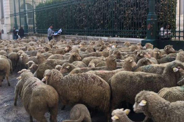 Près de 300 brebis étaient devant la Préfecture du Gard, elles ont été amenées par les éleveurs pour protester contre les attaques de loup - 6 décembre 2018