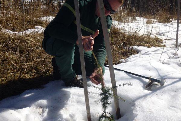 Un tout jeune cèdre planté par l'ONF dans le Sud-Isère