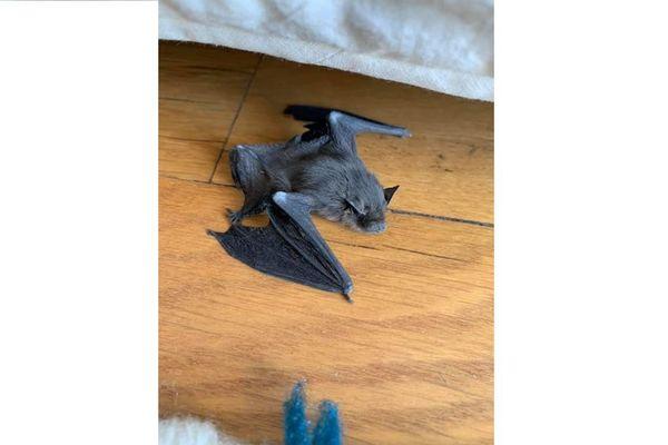 Un étudiant strasbourgeois a retrouvé ce bébé chauve-souris sous son lit.